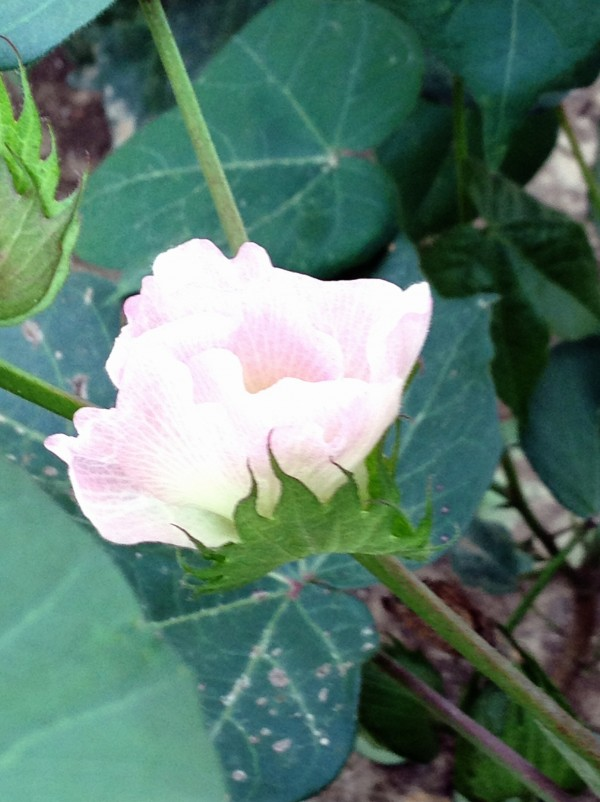 a new cotton bloom