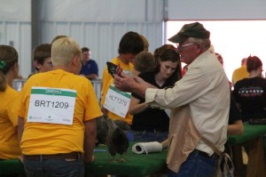 livestock judging at the fair