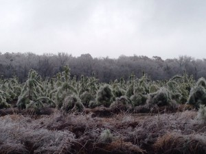 What looks like a Christmas tree farm bearing the weight of much ice.
