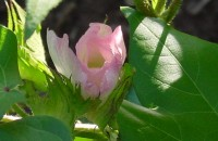 pink cotton bloom
