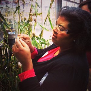 scientist with teosinte in the greenhouse