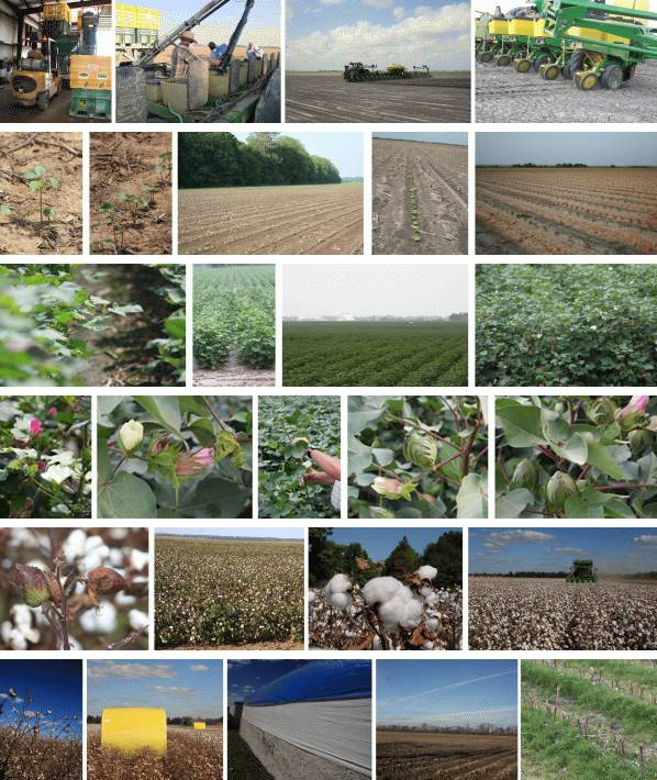 cotton farm throughout the year