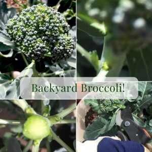 Backyard Broccoli!