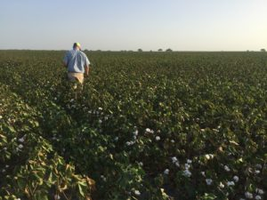 Jon Whatley Coastal Bend Texas cotton