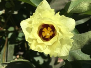Pima cotton bloom