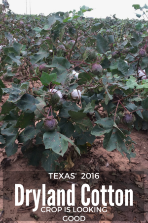 Texas Dryland Cotton