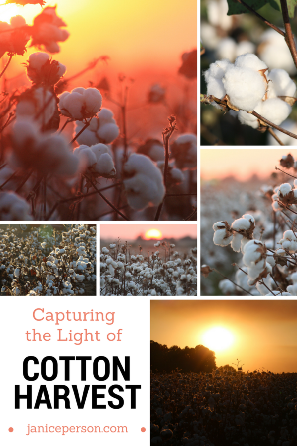 capturing the light of cotton harvest