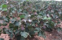 dryland-cotton