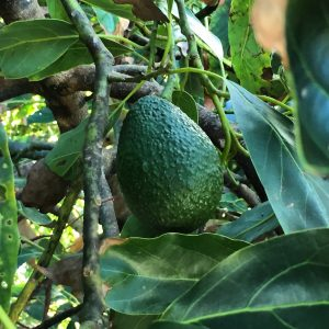 avocado on the tree